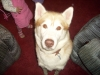 Siberian Husky, 3 years old, tan and honeycombe